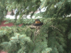 Just for spring I wanted to share this pic. She sits outside my kitchen window, on her eggs, rain or shine. For the past two days we have has 40 mile an hour winds, and I have just been watching her surf the tree branch. She's doing a good job!!
