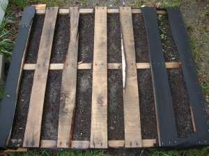 My pallet garden, once everything comes in a little to tighten the soil, I will set the pallet upright and have room for some cucumbers in this area of my yard.