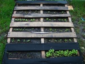 My lettuce garden