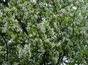 This is our crabapple tree, I make jelly out of it every year. Spiced crabapple jelly is a kiss from God)