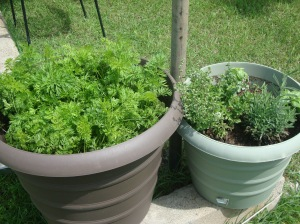 Carrots on the left, herbs on the right. More basil. I have a LOT. :)