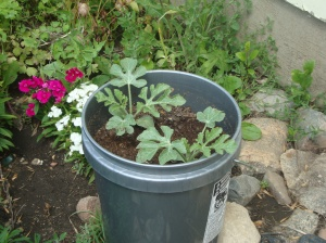 Watermelons in pots? I'm trying it!