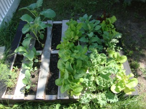 Kale, kohlrabi, mixed greens, spinach, dll and bibb lettuce, growing well after I pinched the flowers off early enough.