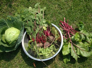 Cabbage, peas, green beans, and beets