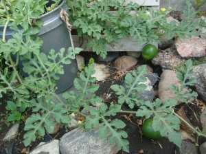 Who told me I could grow watermelons in pots on WordPress? I can't remember! Well thank you, and it DOES work.