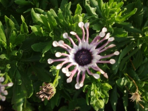 I love these flowers because they are weird-looking. Someone said that it is an African daisy. I'm not sure.