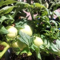 ❤ ❤ Tomatoes ❤ ❤